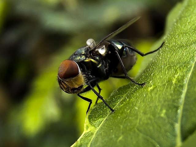 imagem-de-uma-mosca