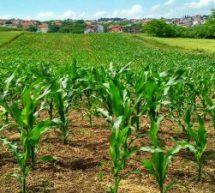 Senar oferece 2 cursos grátis com certificado sobre produção vegetal